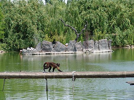 Mono capuchino en el Territorio Saimiri