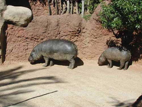 Hipopótamos del Zoo