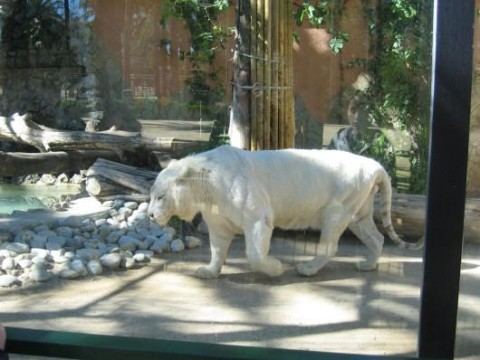 Tigre Blanco en Jerez