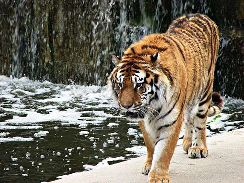 Tigre en el Zoo de Madrid