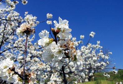 El Valle del Jerte esconde las mejores cerezas