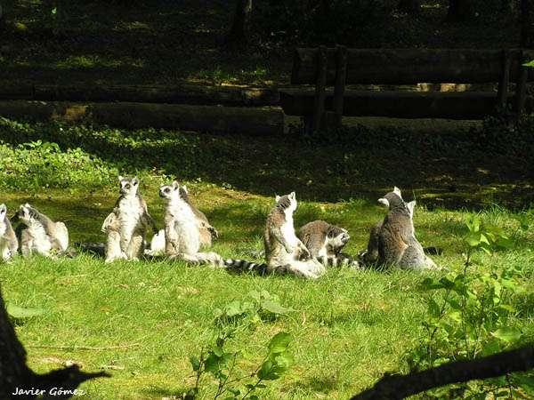 Lemures en Monkey Park