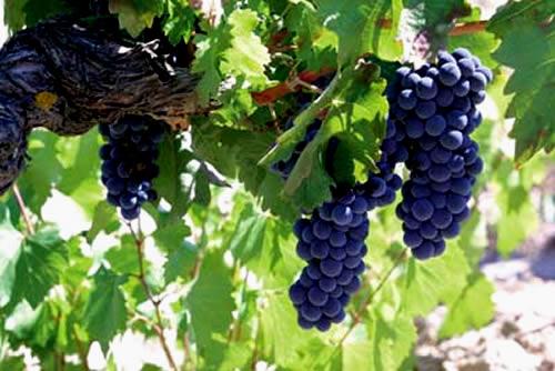 Viñas Denominacion de Origen Cigales