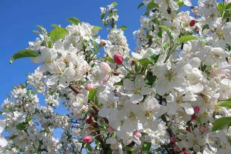 La floración de manzanos en la Comarca de la Sidra