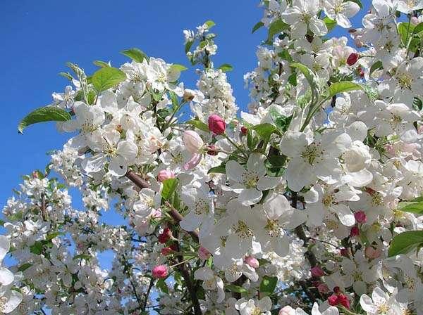 Floracion de manzanos